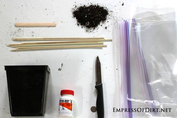 Supplies for propagating honeysuckle vines from cuttings