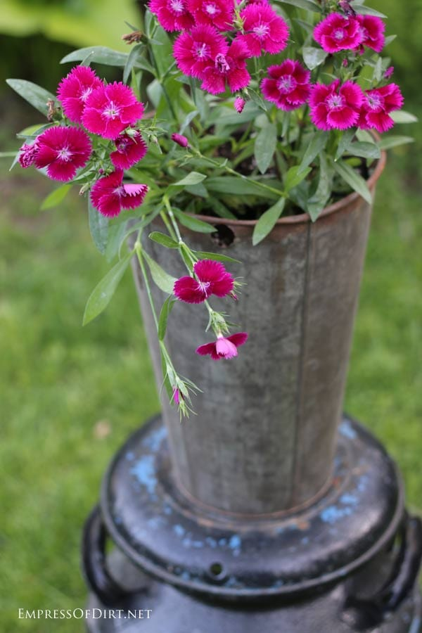 Dianthus in maple sap bucket planter
