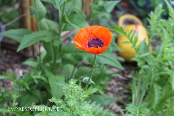 Orange poppy in spring garden