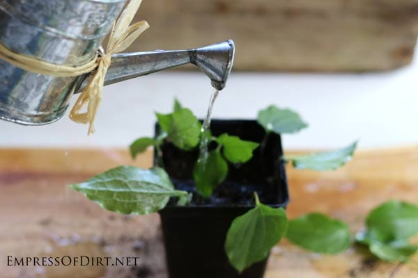 Growing clematis from cuttings. If you have a clematis vine you love (or a friend does), this tip shows you how to take cuttings to create more vines—that's what propagation is. It's a great way to get free plants without much effort. I'll walk you through the steps so you can propagate your vines this spring.