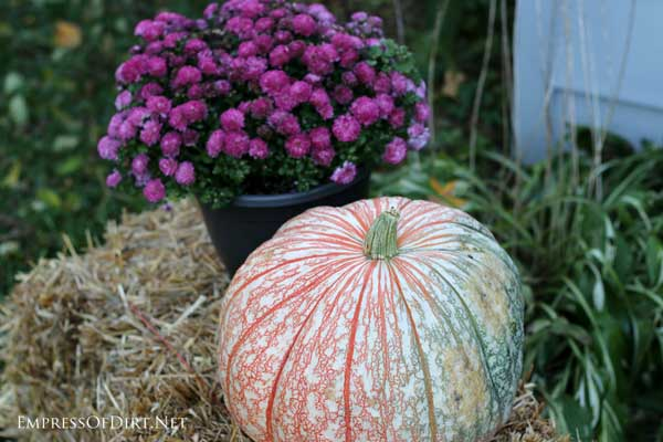 Varigated pumpkins with purple mums for fall decor| empressofdirt.net