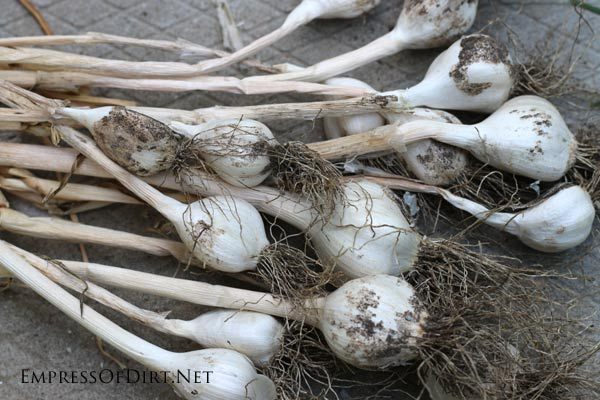 Garlic is one of many things to plant in the fall garden | empressofdirt.net