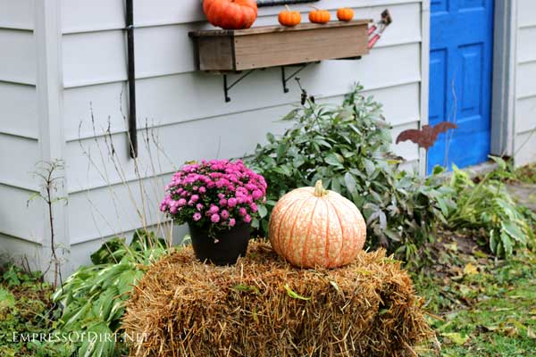 Varigated pumpkins, straw bale, with purple mums for fall decor| empressofdirt.net