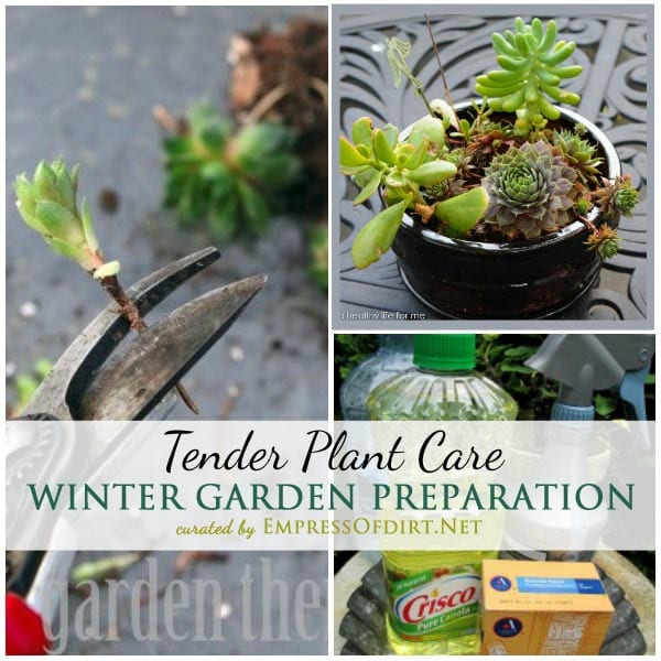 Tips from experienced gardeners on winter garden prep including tender plant care and overwintering | empressofdirt.net