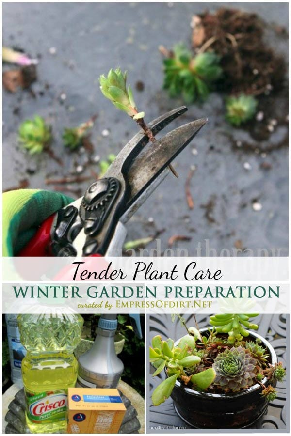 Winter Garden Preparation: The Care and Keeping of Tender Plants | To protect what you have achieved in your garden and avoid costly mistakes, it's worth the time and effort to protect tender plants before harsh winter weather sets in. This collection of winter garden prep tips comes from dedicated organic gardeners.