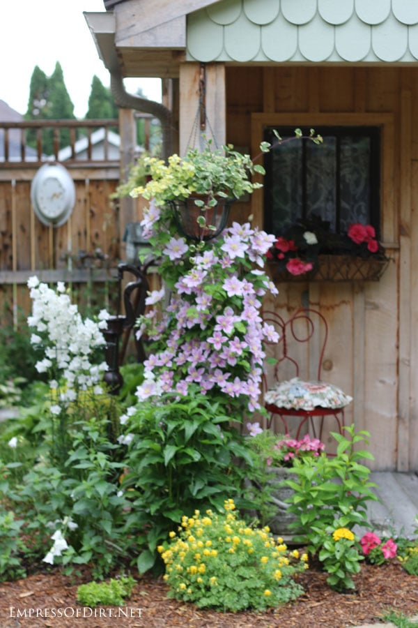 Clematis growing up the garden shed with scalloped shingles - see more shed ideas at empressofdirt.net