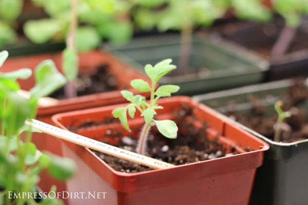 Cherry tomatoes   Grow an indoor vegetable garden for fresh veggies all year round