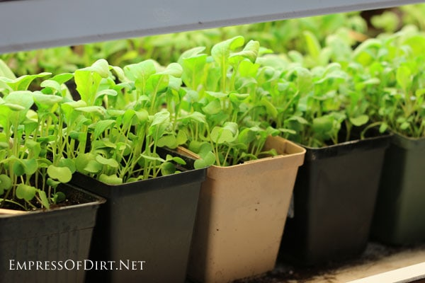 Grow an indoor kitchen garden empress of dirt - Salads can grow pots eat fresh ...
