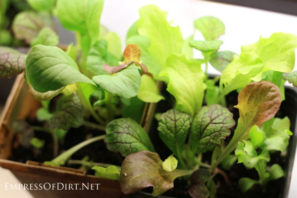 Salad greens | Grow an indoor vegetable garden for fresh veggies all year round
