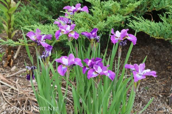 A flower gallery featuring a rainbow of iris blooms : light purple miniature irises