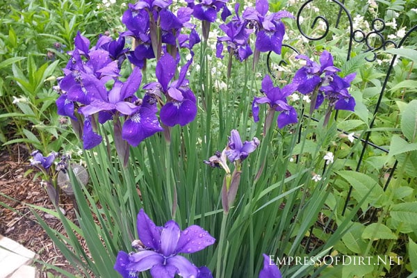 A flower gallery featuring a rainbow of iris blooms : miniature purple irises