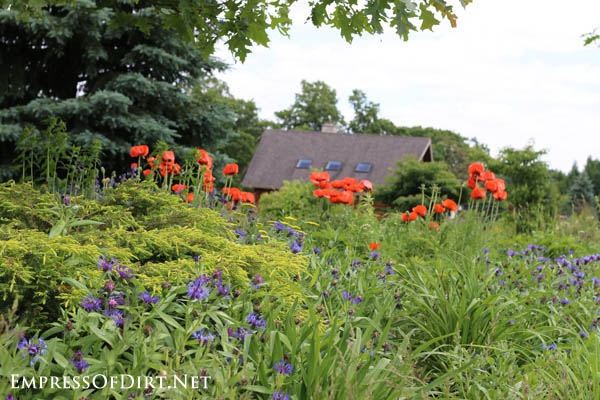 Poppies and cottage | 10 Irresistible Reasons To Grow Poppies in Your Garden