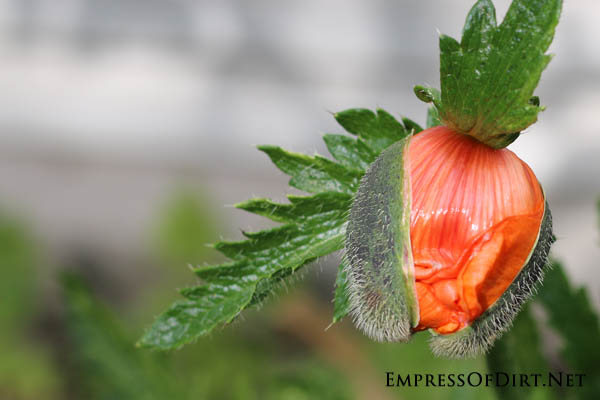 Poppy orange | 10 Irresistible Reasons To Grow Poppies in Your Garden