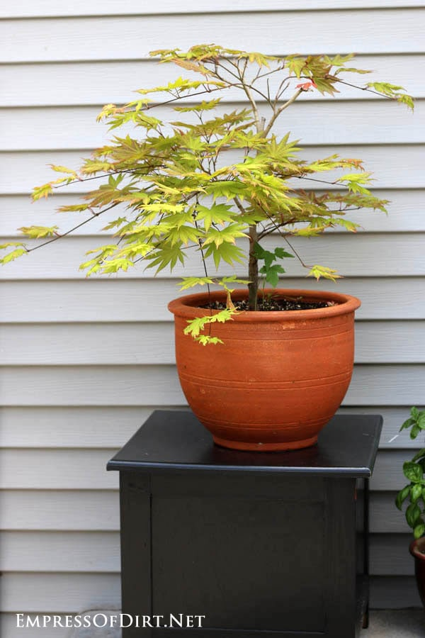 Green acer maple tree in clay pot | 21 Gorgeous Flower Planter Ideas
