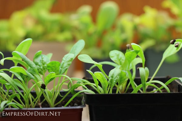 Spinach | Grow an indoor vegetable garden for fresh veggies all year round