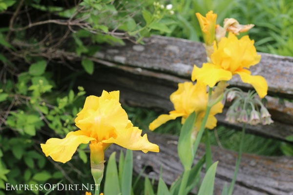 A flower gallery featuring a rainbow of iris blooms : yellow irises
