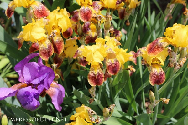 A flower gallery featuring a rainbow of iris blooms : yellow irises with red petals