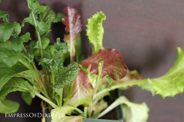 Which veggies grow best indoors? Find out here!