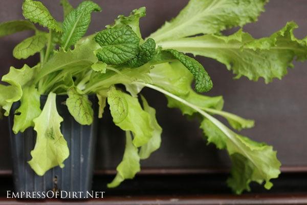 Mesclun mix salad greens growing indoors.