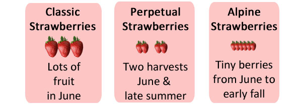 Different types of strawberries.