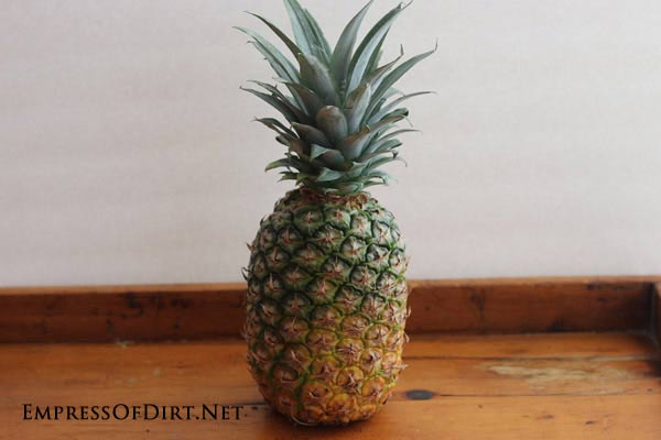 How to grow a pineapple indoors with the twist top method: start with a pineapple from the grocery store