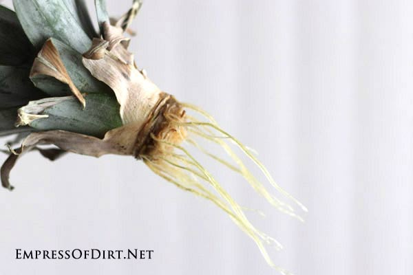 How to grow a pineapple indoors with the twist top method: this pineapple crown is growing new roots