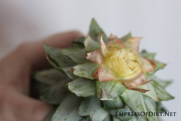 How to grow a pineapple indoors with the twist top method: pineapple crowns can grow new roots