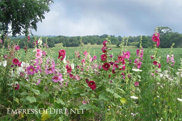 Country garden in Ontario, Canada with a cottage-style flower beds and lots of hollyhocks