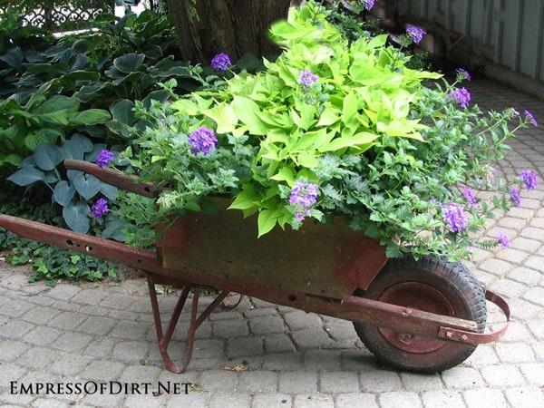 Rustic wheelbarrow with potato vines and purple flowers on a country garden tour