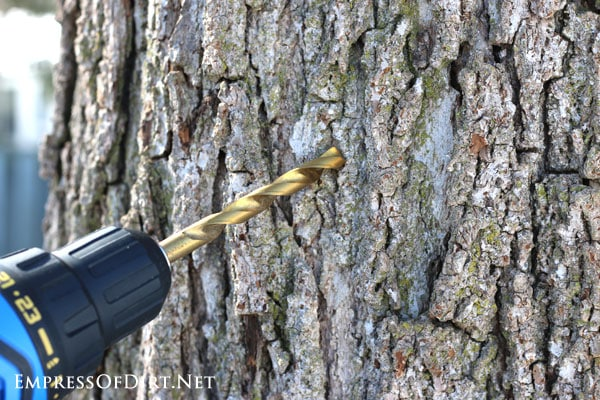 How to tap trees in your garden for sap to make homemade syrup: drill a hole to insert the sap spout