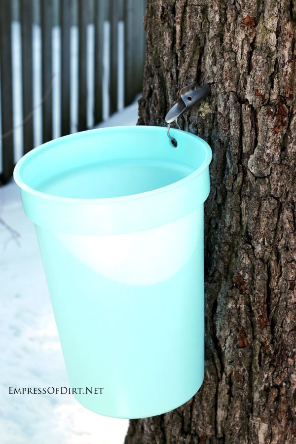 How to tap trees in your garden for sap to make homemade syrup: the sap bucket hangs from the spout, collecting the sap as it drips from the tree