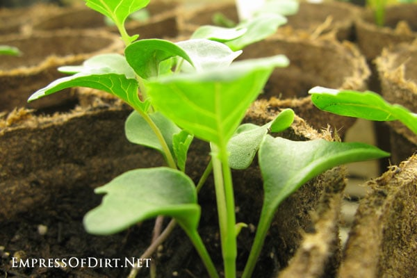 How to harden off seedlings for planting outdoors: seedlings ready for hardening off