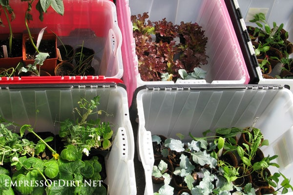How to harden off seedlings for planting outdoors: use storage bins as mini greenhouses