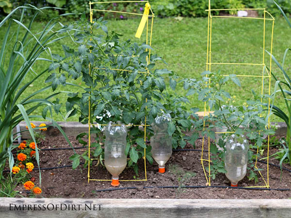 Upside-down plastic pop bottles used to slow-drip water into vegetable garden.
