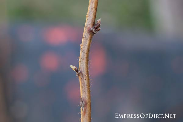 Buds forming on raspberry cane.