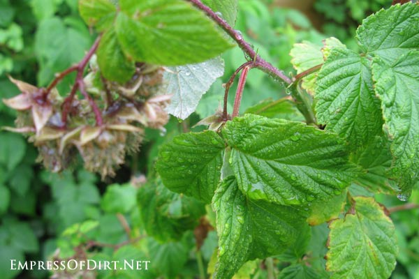 How to transplant raspberries plus tips for growing this delicious summer fruit in the home garden.