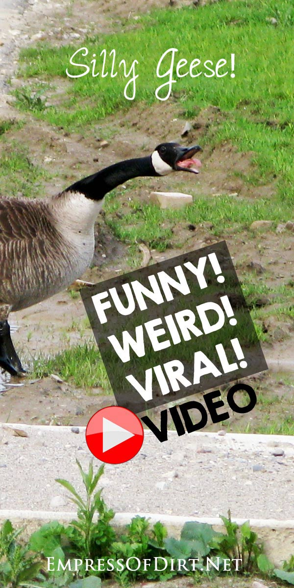 Viral video - funny and weird boot camp - gaggle of geese jogging down a road with their babies