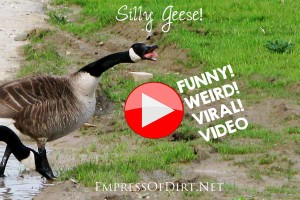 Geese jogging down the road viral video