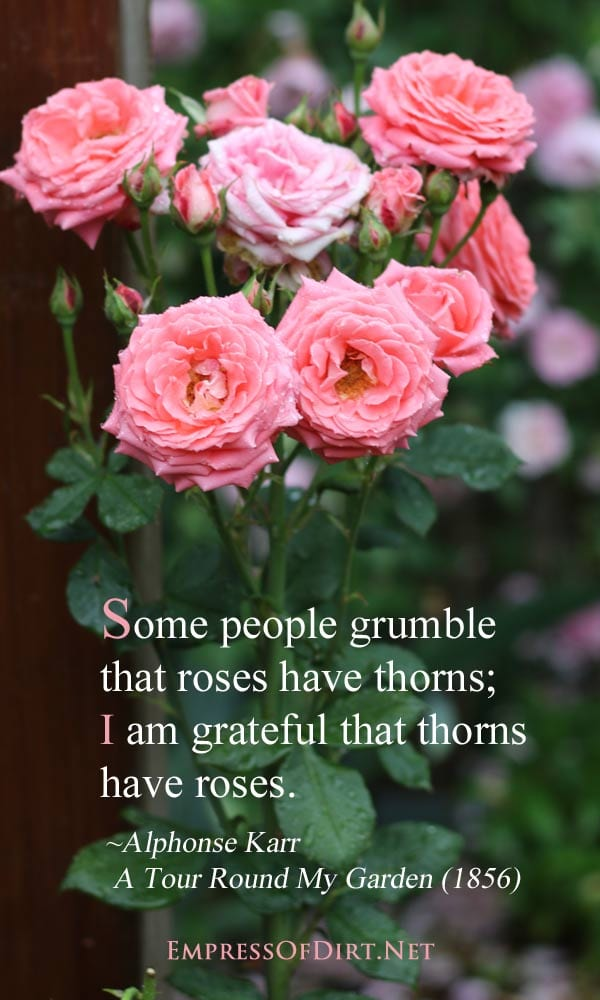 Some people grumble that roses have thorns; I am grateful that thorns have roses. ~Alphonse Karr A Tour Round My Garden (1856)