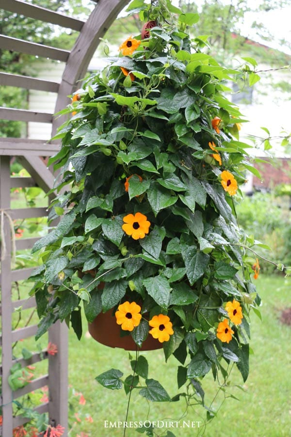 Black-eyed Susan vines are a wonderful choice for an annual, fast-growing summer vine.
