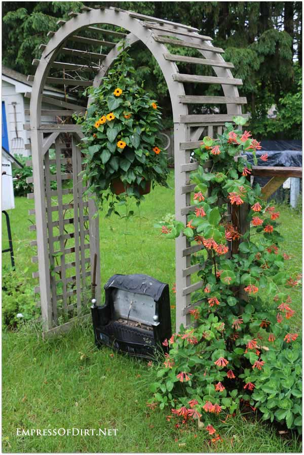 Garden arbor with Black-eyed Susan vine in hanging planter and orange honeysuckle.