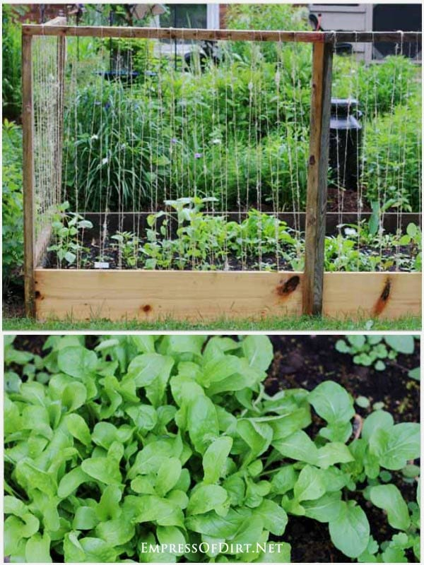 Vegetable garden in raised beds with lettuces, carrots, plus peas and beans climbing twine trellis.
