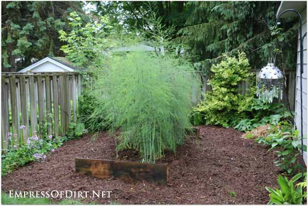 After asparagus is harvested in the spring, the remaining shoots grow tall and flower. This is a great plant for a seasonal privacy hedge!