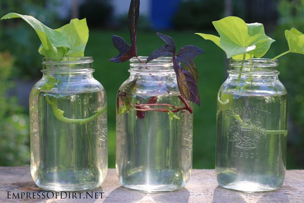 It's very easy to grow sweet potato vine from cuttings. This is a great way to get more free plants for your garden.