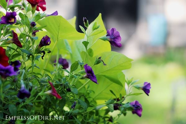 How To Grow Sweet Potato Vine From Cuttings Empress Of Dirt