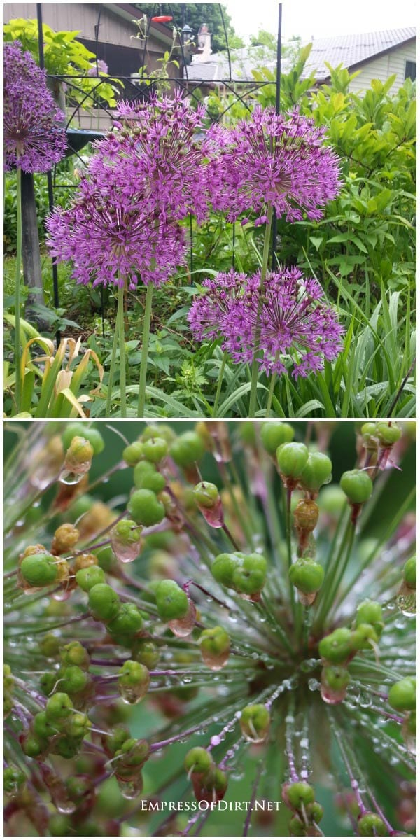 Alliums are a bulb plant that offer fabulous spring blooms and food for the bees.