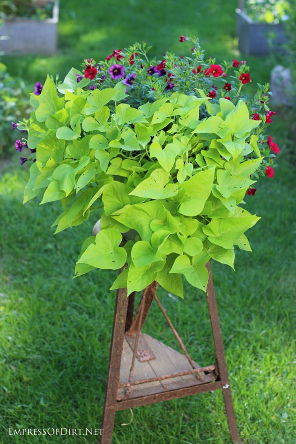 Itu0027s Very Easy To Grow Sweet Potato Vine From Cuttings. This Is A Great Way
