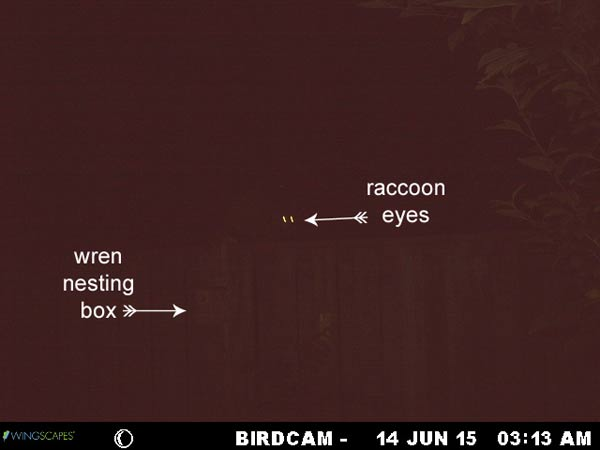 Raccoons may try to raid nesting boxes at night. See what you can do to stop them!
