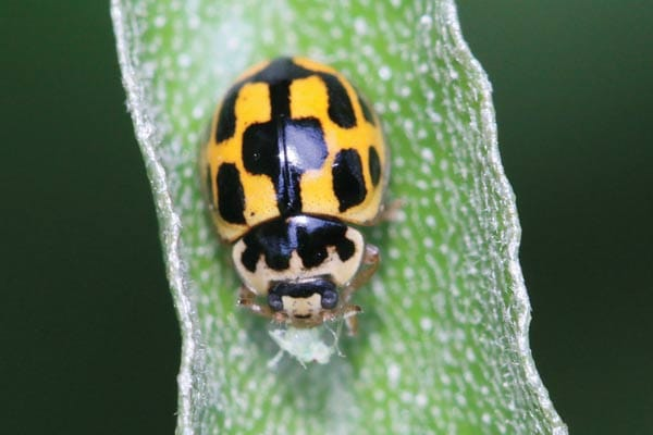 You can see how the Checkerspot Lady Beetle gets its name! There's lots of unusual types of Lady Beetles. Get to know all these garden helpers.