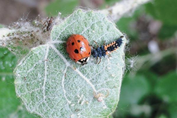 Harmonia-adult-and-larva-by-Mary-M-Gardiner-